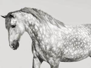 Leia, Andalusian Pony by Pangea Images