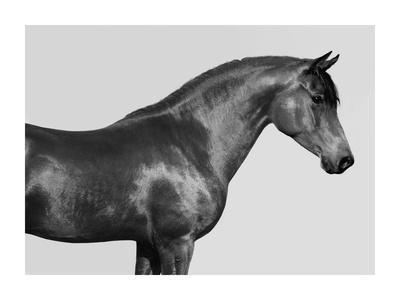 Orpheus, Arab Horse