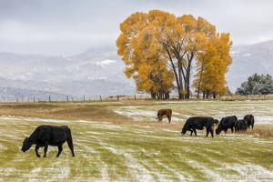 Autumn into Winter - fresh snow falls on autumn trees and cows outside of Ridgway Colorado by Panoramic Images