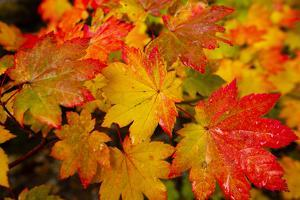 Autumn leaves in close-up, Portland, Oregon, USA by Panoramic Images