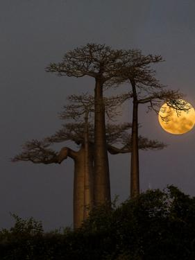 Baobabs (Adansonia) and moon, Morondava, Madagascar by Panoramic Images