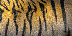 Bengal tiger back extreme close up, India by Panoramic Images