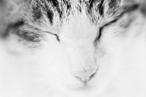 Cat, Japan by Panoramic Images