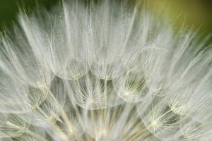 Close-Up of dandelion seed, Lockport Prairie Nature Preserve, Lockport, Illinois, USA by Panoramic Images