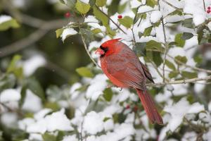 Close-up of male Northern Cardinal (Cardinalis cardinalis) in American Holly (Ilex opaca), Mario... by Panoramic Images