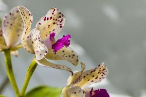 Close-up of Orchid flowers in bloom by Panoramic Images
