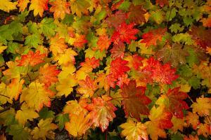 Close-up of wet autumn leaves, Portland, Oregon, USA by Panoramic Images