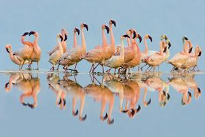Flock of Lesser Flamingos (Phoenicopterus Minor) standing in water, Lake Nakuru, Kenya by Panoramic Images