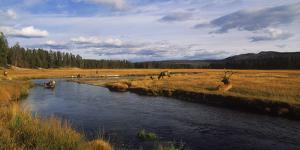 Herd of Elk (Cervus canadensis) at riverbank, Yellowstone National Park, Wyoming, USA by Panoramic Images