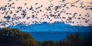 Herd of snow geese in flight, Soccoro, New Mexico, USA by Panoramic Images