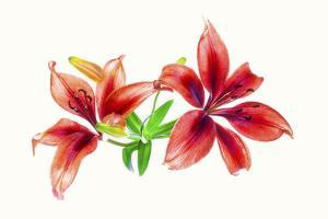 Lilies against white background by Panoramic Images