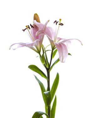 Lilies on a white background by Panoramic Images