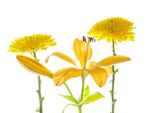 Lily and Chrysanthemums or Mums on a white background by Panoramic Images