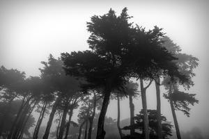 Low angle view of trees in the fog at Lands End, San Francisco, California, USA by Panoramic Images