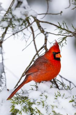 Northern Cardinal (Cardinalis cardinalis) perching on snowcapped juniper tree branch, Marion Co.... by Panoramic Images