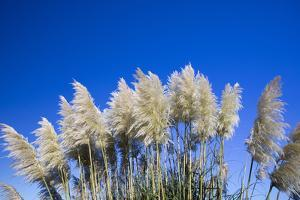 Pampas grass, Cannon Beach, Oregon, USA by Panoramic Images