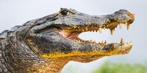 Pantanal cayman head, Porto Jofre, Mato Grosso, Brazil by Panoramic Images