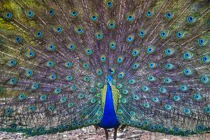 Peacock spreading tail, India by Panoramic Images