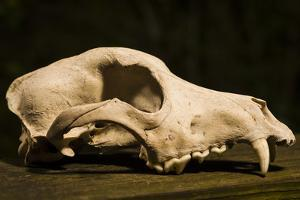 Photograph of animal skull by Panoramic Images