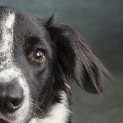 Portrait of a Border Collie Mix Dog by Panoramic Images