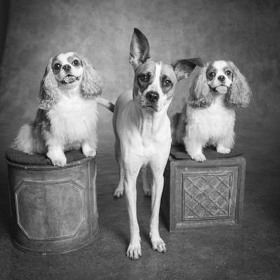 Portrait of a Cattle Dog and Cavalier King Charles Spaniel Dogs by Panoramic Images