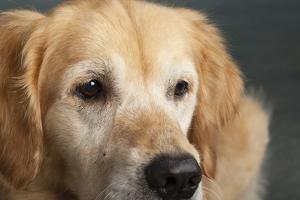 Portrait of a Golden Retriever dog by Panoramic Images