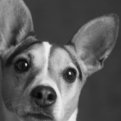 Portrait of a Jack Russell Terrier Dog by Panoramic Images