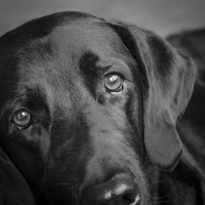 Portrait of a Labrador Great Dane Mixed Dog by Panoramic Images
