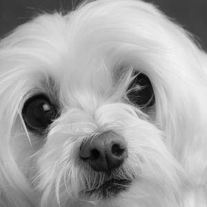 Portrait of a Maltese Dog by Panoramic Images