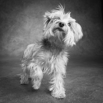 Portrait of a Yorkie dog by Panoramic Images