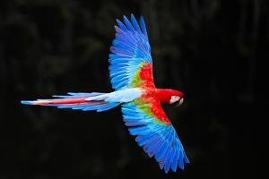 Red and green macaw (Ara chloropterus) in flight , Pantanal, Brazil by Panoramic Images