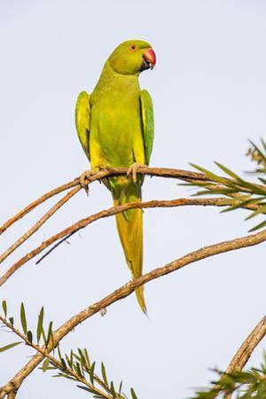 Rose ringed parakeet (Psittacula krameri) perching on branch, India by Panoramic Images