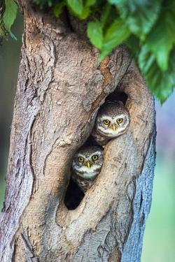 Spotted owlets (Athene brama) in tree hole, India by Panoramic Images