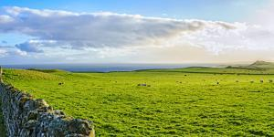Stone fence along pasture with Sheep grazing, Moray Firth near Brora, Scotland by Panoramic Images