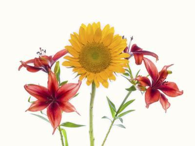 Sunflowers and lilies against white background by Panoramic Images
