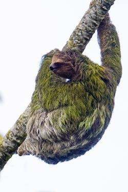 Three-toed sloth on tree branch, Sarapiqui, Costa Rica by Panoramic Images