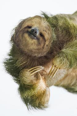 Three-Toed Sloth, Sarapiqui, Costa Rica by Panoramic Images