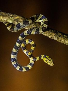 View of snake on branch, Madagascar by Panoramic Images