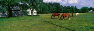Panoramic View of Horses Grazing in Springtime Field, Eastern Shore, Md