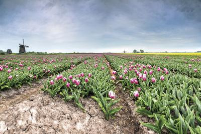 https://imgc.allpostersimages.com/img/posters/panoramic-view-of-multi-coloured-fields-of-tulips-and-windmills-netherlands_u-L-Q12SBA20.jpg?p=0