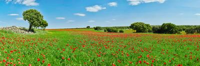 Panoramic view of poppy flowers field, Cuenca, Castilla-La Mancha, Spain