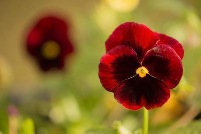 https://imgc.allpostersimages.com/img/posters/pansy-flowers-in-autumn-garden_u-L-Q1EXTMS0.jpg?artPerspective=n