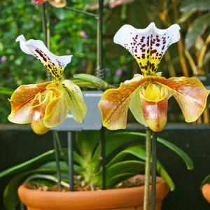 Paphiopedilum Hybrid on Display at the Kew Orchid Festival