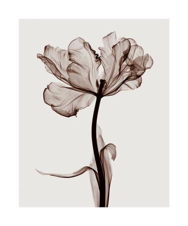 https://imgc.allpostersimages.com/img/posters/parrot-tulips-i_u-L-F5M18J0.jpg?p=0