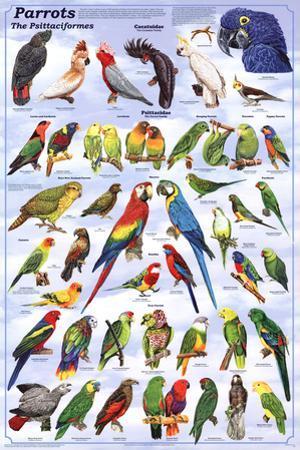 Parrots Educational Bird Chart Art Poster
