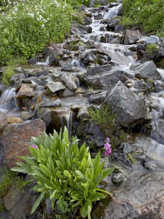 https://imgc.allpostersimages.com/img/posters/parry-s-primrose-growing-in-a-stream-american-basin-uncompahgre-national-forest-colorado-usa_u-L-P7NSO00.jpg?p=0
