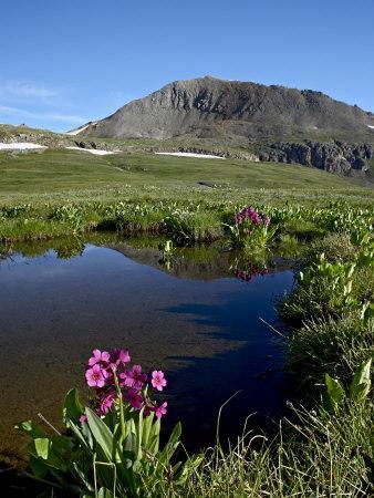 https://imgc.allpostersimages.com/img/posters/parry-s-primrose-next-to-a-tarn-porphyry-basin-san-juan-national-forest-colorado-usa_u-L-P7NSOW0.jpg?p=0