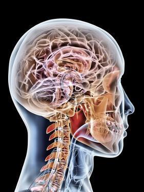 Internal Brain Anatomy, Artwork by PASIEKA