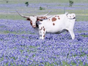 Longhorn Grazing on Bluebonnets, Midlothian, Texas by Pat Sullivan