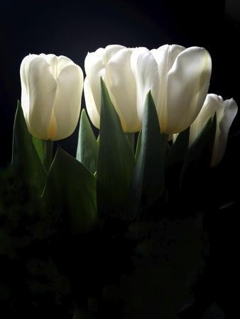 White Tulips Copy